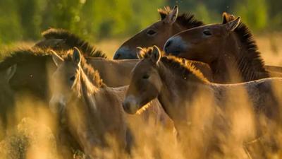 Chernobyl: el misterio de los caballos salvajes en la zona de exclusión
