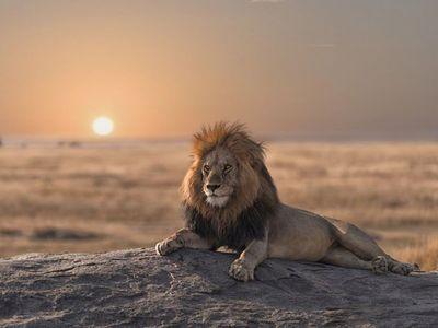 Los biólogos logran reconstruir la compleja historia evolutiva de los leones