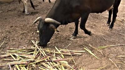 """Sequía en el Chaco obliga a muchos productores de leche a """"abandonar"""""""