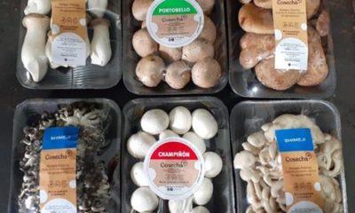 » Producción y venta de champiñones se reorientan ante el Covid