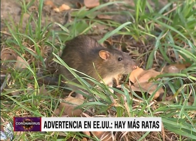 Covid-19 deja ratas hambrientas en EE.UU