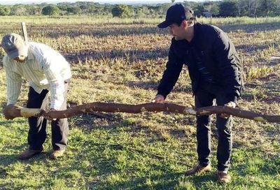 Cosechan mandioca  de 15 kilos y 5 metros