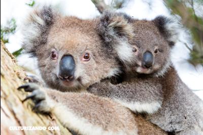 Nació el primer koala en un parque de Australia, tras los devastadores incendios