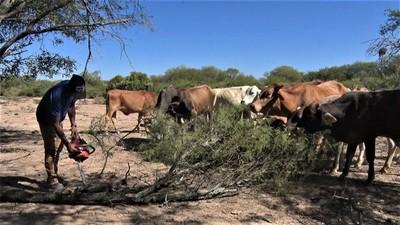Sequía lleva a situación crítica en el Pilcomayo: Vacas comen algarrobo ante falta de pasto