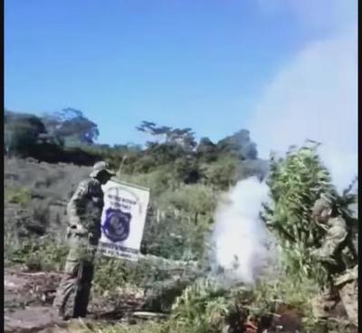 Destruyen tres hectáreas de plantación de marihuana en Caaguazú – Prensa 5