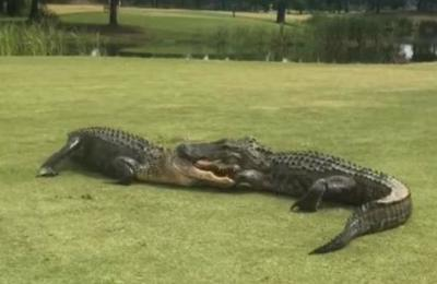 El aterrador video de dos caimanes peleando en medio de un campo de golf
