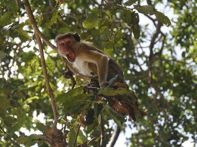 Monos hurtan muestras de sangre tomadas para detectar Covid-19