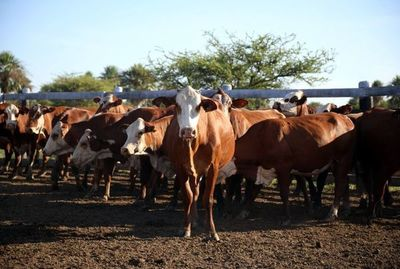 Precio del ganado, igual que en 2012