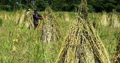 Productores piden ayuda para vender unos 10.000 kilos de sésamo