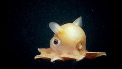 Un récord: Hallan a 7.000 metros de profundidad un pulpo de aspecto adorable