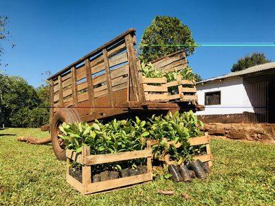 A Todo Pulmón planta más de 12 mil árboles de Yerba Mate en el Guairá