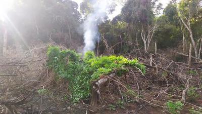 Varias hectáreas de marihuana fueron destruidas en Vaquería – Prensa 5