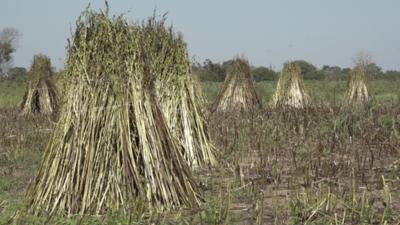 Por sequía trabajan en preparación de suelo para cultivos de sésamo