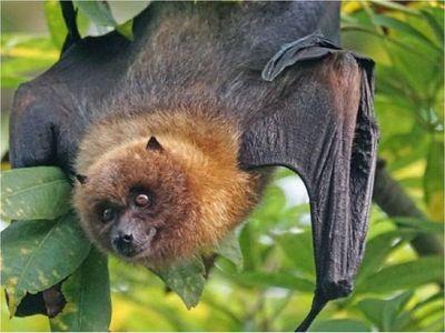 China: Hallan cientos de nuevos coronavirus en murciélagos
