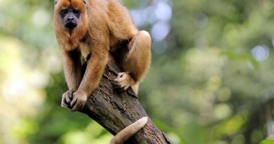 Rescataron cinco monos aulladores en Mbocayaty