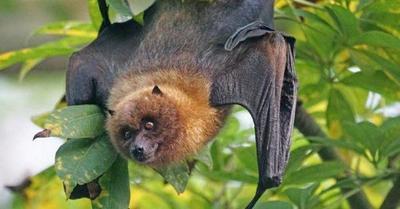 China: Hallan cientos de nuevos coronavirus en murciélagos – Prensa 5