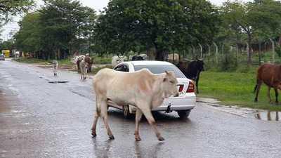 Dueños de animales sueltos burlan disposiciones legales