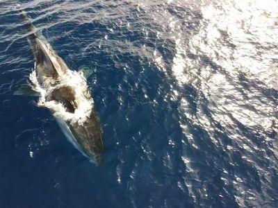 Avistada una ballena de 20 metros que vaga sin cola por la costa