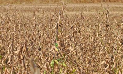 » Prevén crecimiento de la producción de soja en zafra 2020/21