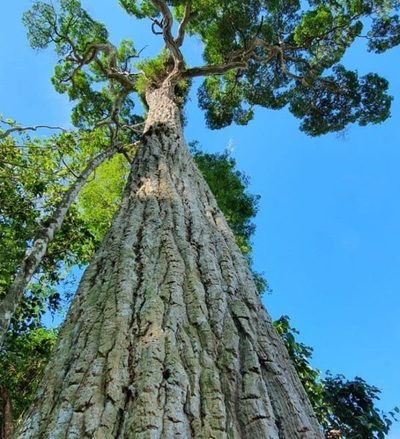 Con un yvyraromi de 400 años y acciones de reforestación, ITAIPU celebra el Día Nacional del Árbol