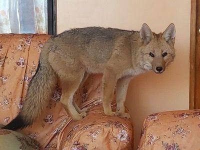 Se rompe el lazo del zorro Antonio con la familia que lo crió en Bolivia