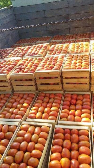 Abundancia de tomate hace bajar el precio