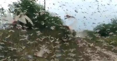 Alarma en el campo paraguayo ante brote de plaga de langostas en el norte de Argentina