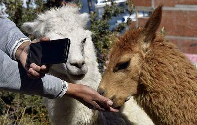 La llama, motivo de singular oferta de turismo virtual en Bolivia