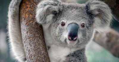 Los koalas podrían extinguirse en el este de Australia para el 2050