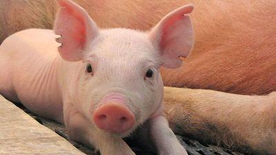 "Descubren nueva gripe porcina con ""potencial pandémico"" en China"