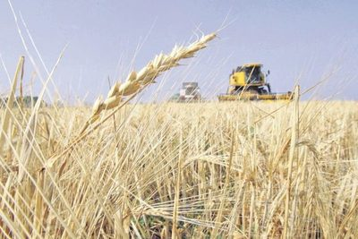 Pese a bajos rendimientos, calidad del maíz es óptima