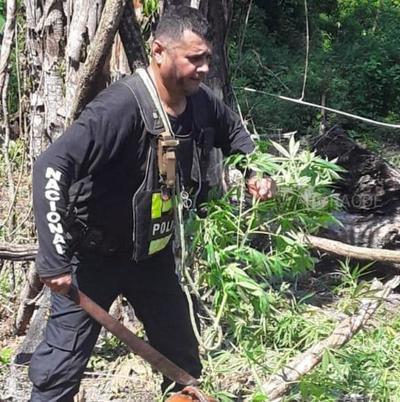 Policía destruye plantación de MARIHUANA, sin intervención de la fiscalía en propiedad de TRANQUILO FAVERO