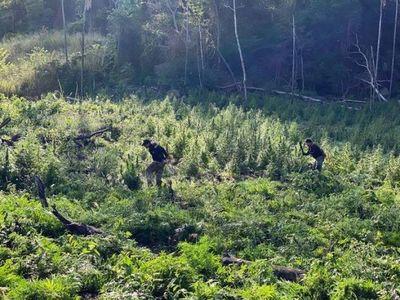 SENAD destruye plantaciones de marihuana en Amambay