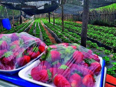 Guaireño hace delivery de frutilla cosechada en su huerta