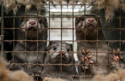 Holanda: sacrifican a miles de visones criados en granjas tras detectar casos de Covid-19