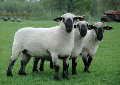 Ovejeros y Gobierno trazan camino para futura importación de material genético de Gran Bretaña