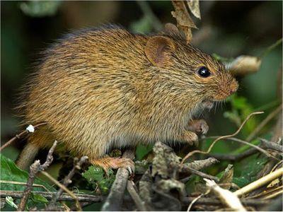 Hallan nueva especie de gran roedor que vivió hace 2,6 millones años