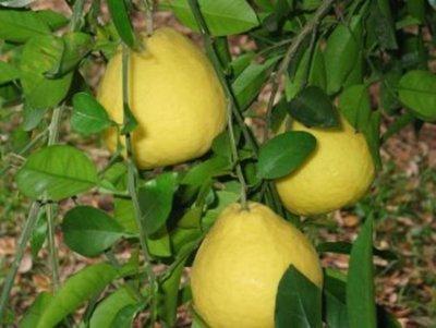 Acusado de hurtar tres pomelos podría guardar prisión en un penal del interior