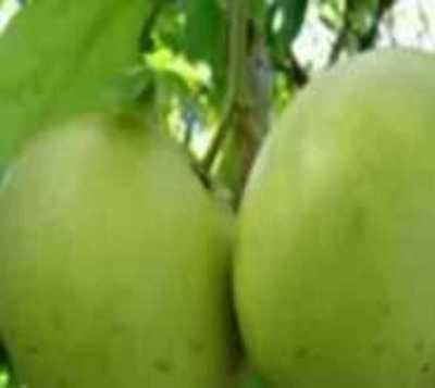 Fiscal reafirma prisión por robo de 3 pomelos