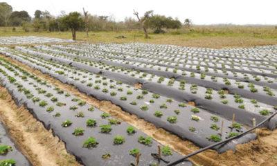» Ventajas de los acolchados plásticos en la horticultura