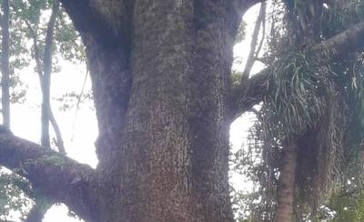 HOY / Colosos de la Tierra: primeros 25 árboles inscriptos al tradicional concurso