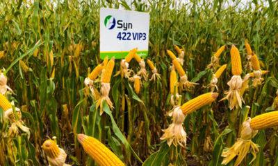 » Zafriña de maíz difícil en la región del Noreste y Norte del país